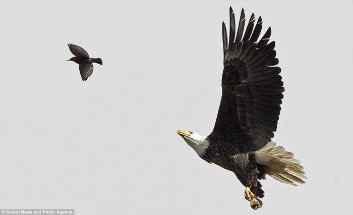 Amazing Moment. Bald Eagle Catches a Starling (4 pics)