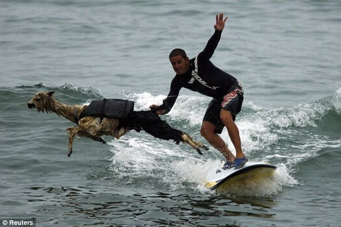 Surfing with Lama (3 pics)