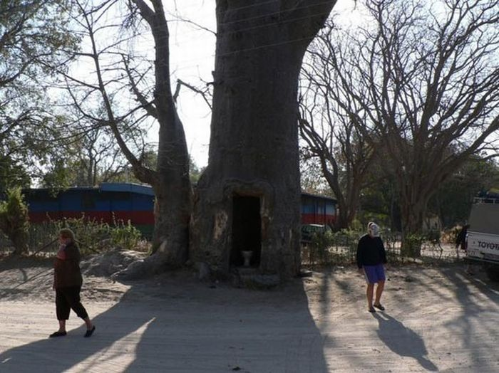 A Useful Tree (4 pics)