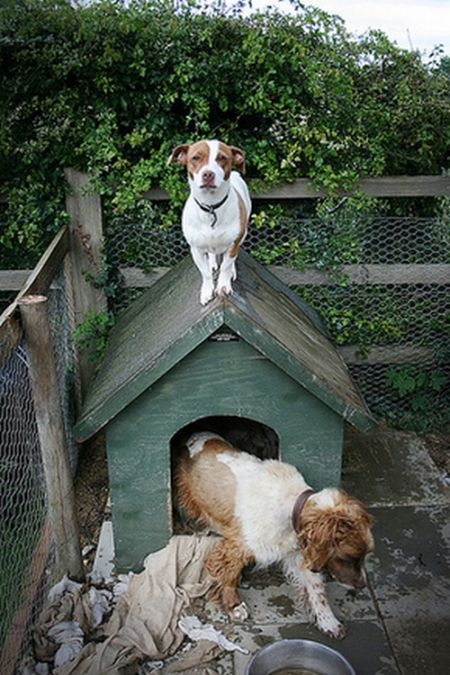Dogs on Roofs (55 pics)