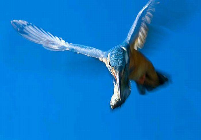 Hunting Kingfisher (15 pics)