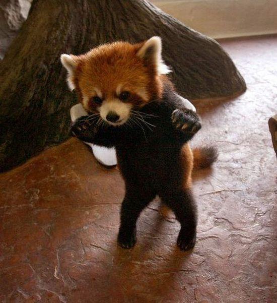 Red Panda (9 pics)