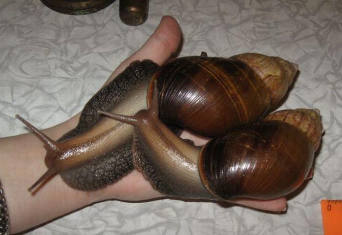 Giant Snails (22 pics)