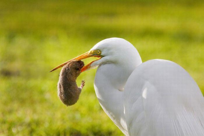 Egret Eats a Gopher (5 pics)