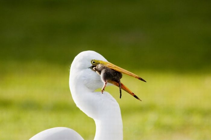 Egret Eats a Gopher (5 pics)