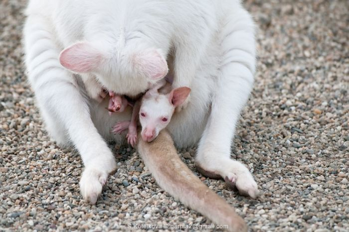 Little Cute Kangaroo Baby (15 pics)
