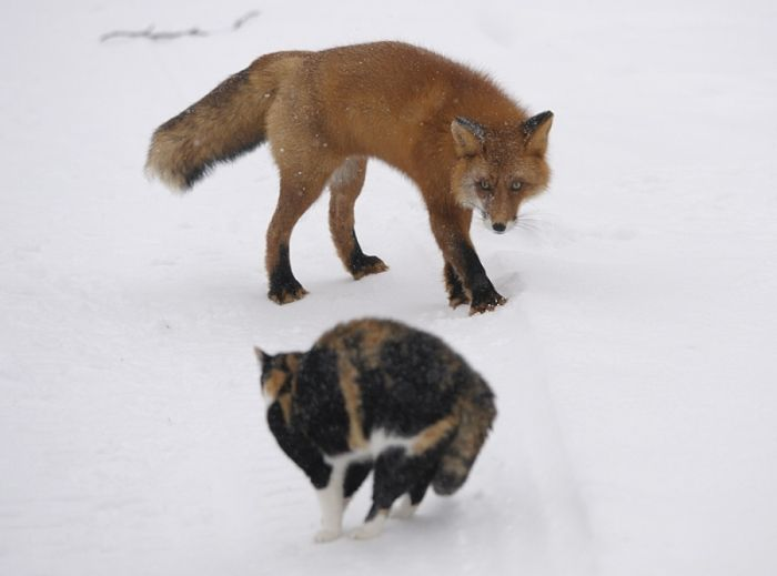 A Cat vs Foxes (6 pics)