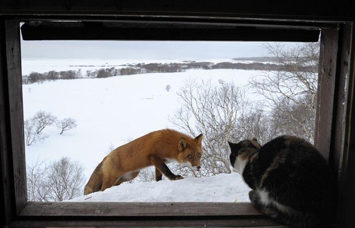 A Cat vs Foxes (6 pics)