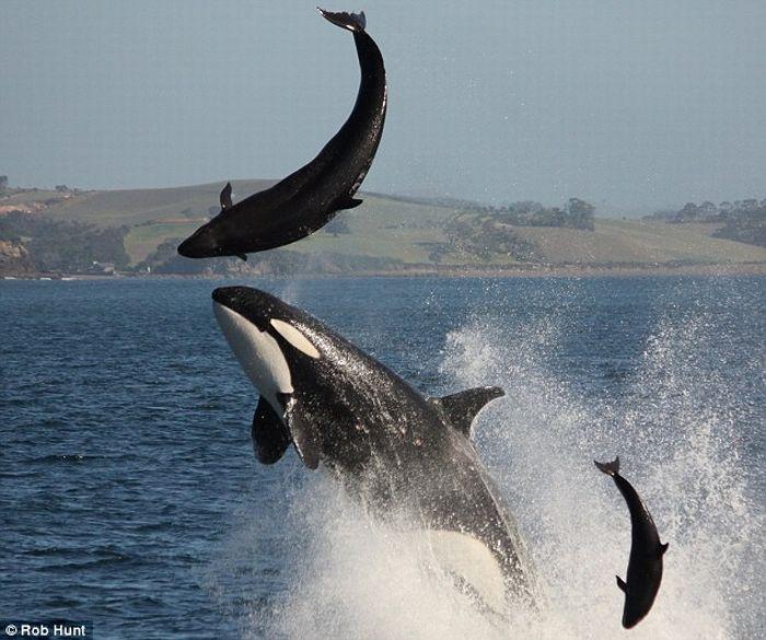 Orca Kills a Dolphin (3 pics)