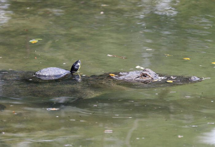 A Friend of a Crocodile (11 pics)