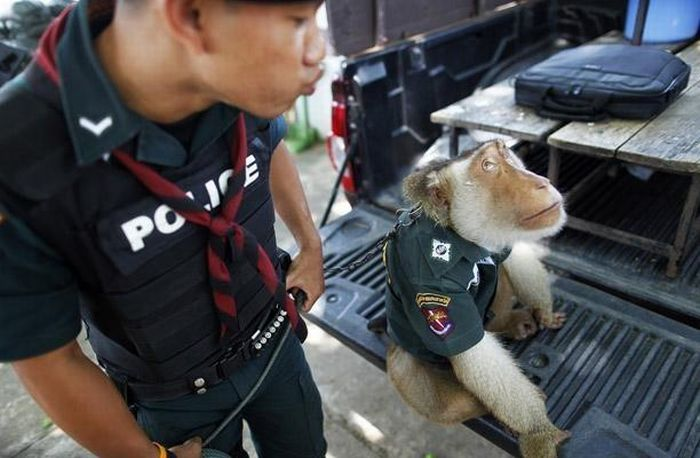 Police Monkey in Thailand (9 pics)