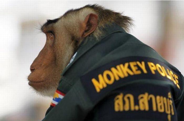 Police Monkey in Thailand (9 pics)