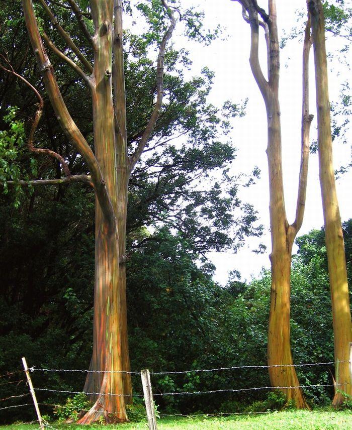 Rainbow Eucalyptus (7 pics)