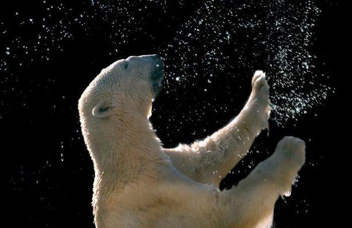 Willy the Bear in North Carolina Zoo (12 pics)