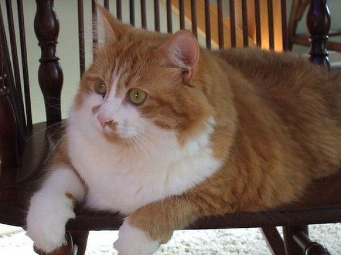 şişman kedi, şişman kediler, şişman kedi resimleri, kedi resimleri, şişmanlar, tombul kediler, şişman hayvanlar