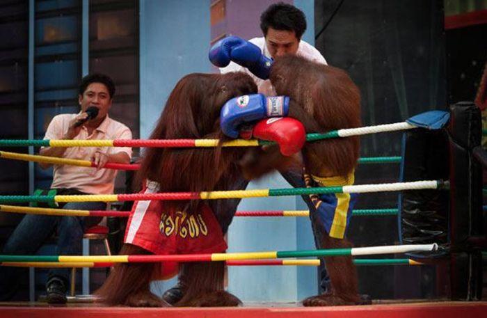 Kickboxing Orangutans in Thailand (14 pics)