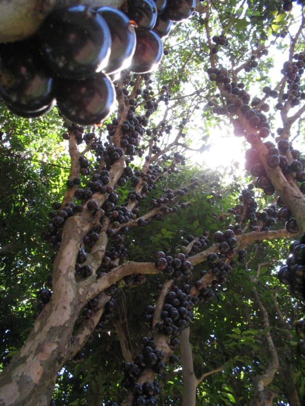 Jabuticaba – The Tree that Fruits on its Trunk (10 pics)