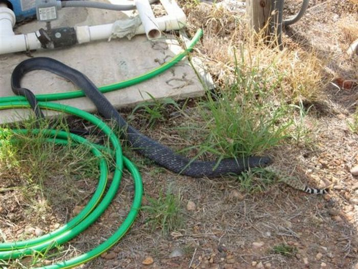 A Snake Ate Another Snake (7 pics)
