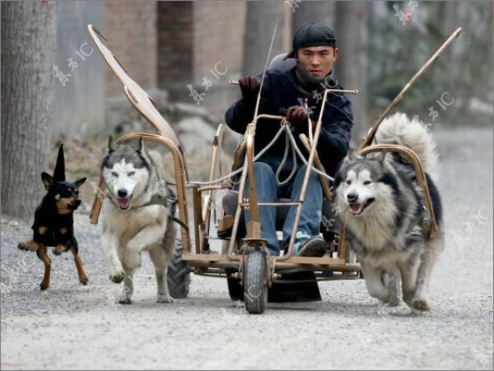 Huskies-Powered Sleds in China (10 pics)