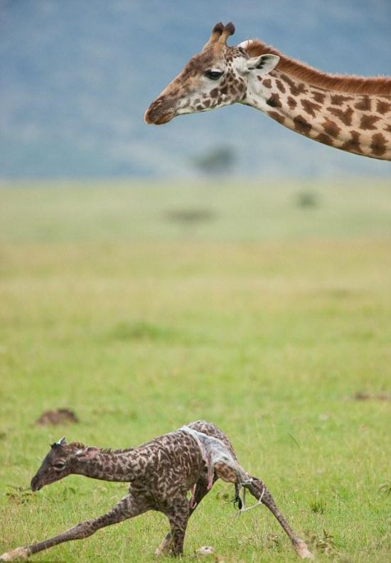 First Moments of Life of a Baby Giraffe (8 pics)