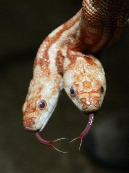 Two-Headed Snakes (28 pics)