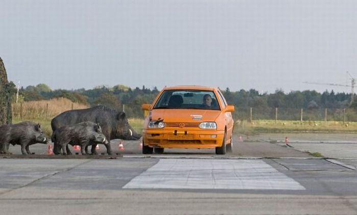 Boar Crash Test (3 pics)