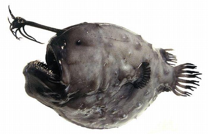 Strange Fishes Found Off Greenland (8 pics)