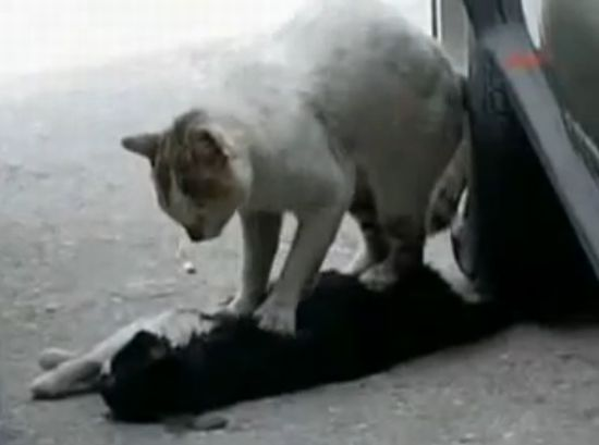 Cat Gives Cardiac Massage to Dead Friend