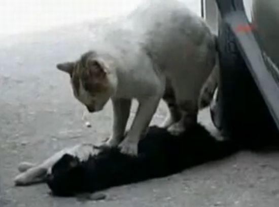 Cat Gives Cardiac Massage to Dead Friend