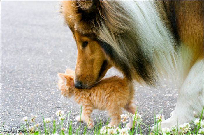When a Kitten Meets a Dog (14 pics)