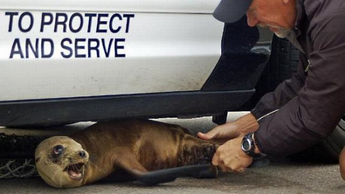 A Baby Seal Under a Police Car (4 pics)