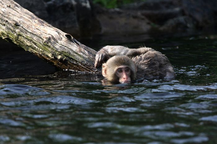 A Snow Monkey Learns to Swim (18 pics)
