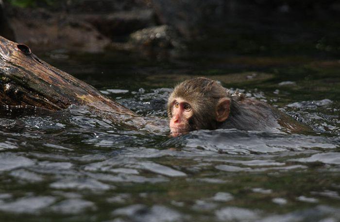 A Snow Monkey Learns to Swim (18 pics)