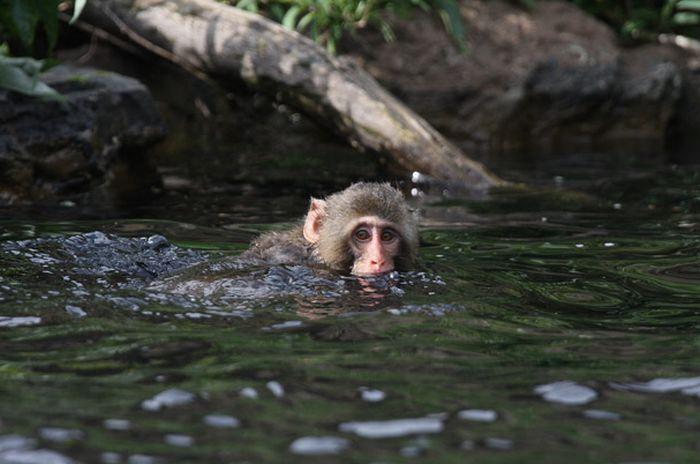 monos nadadores