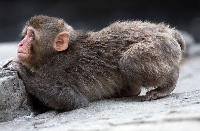 Animales de la Naturaleza: Monos Nadadores