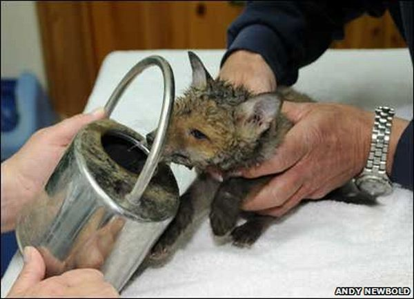 Saving a Fox Cub (12 pics)