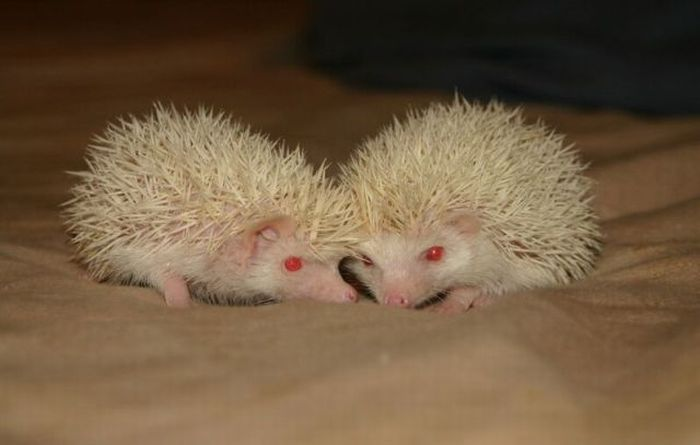 Newborn Hedgehogs (51 pics)