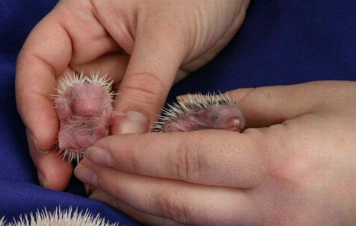 Newborn Hedgehogs (51 pics)