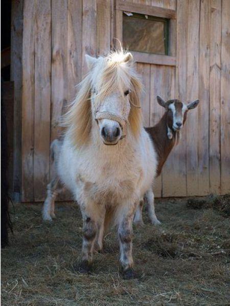 Funny Goats (17 pics)