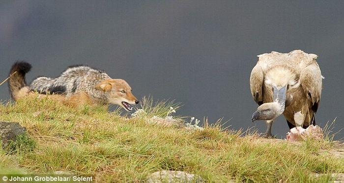 Jackal vs Vulture (4 pics)