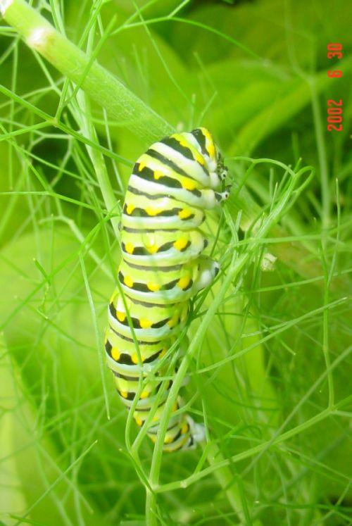 Spicebush Swallowtail Сaterpillar (12 pics)