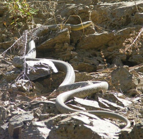 How Snakes Make Love (26 pics)