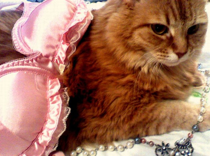 Cats and Bras (37 pics)