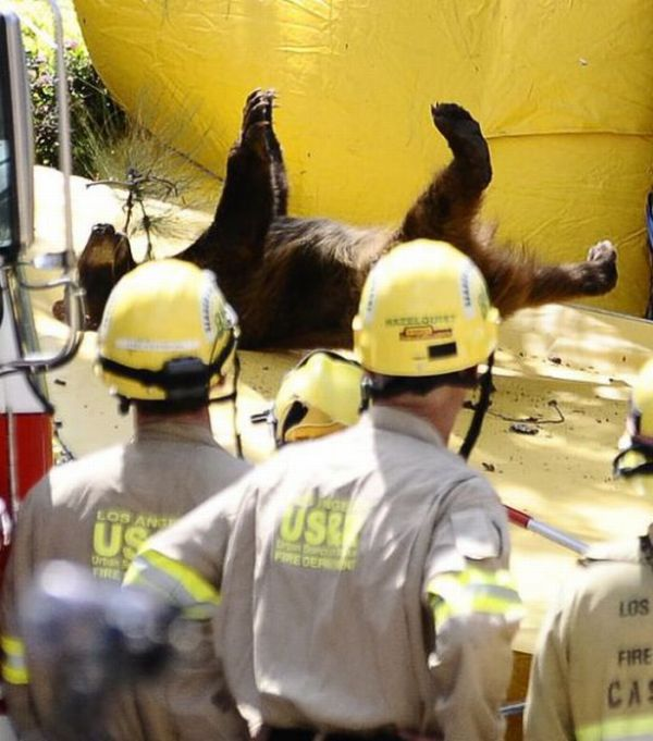 Bear Cub Rescue Operation (12 pics + video)