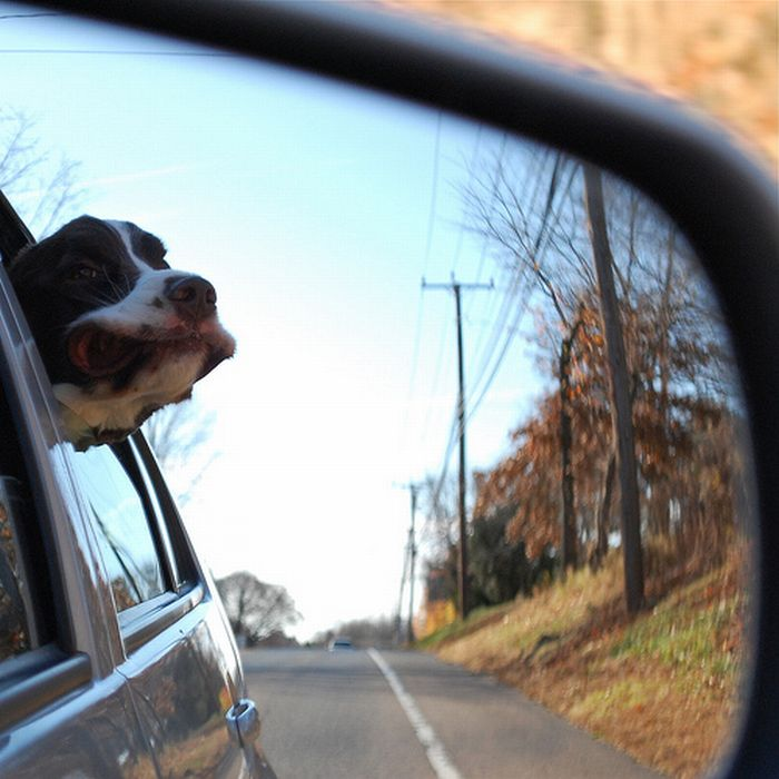 Dogs Love Cars and Wind (15 pics)