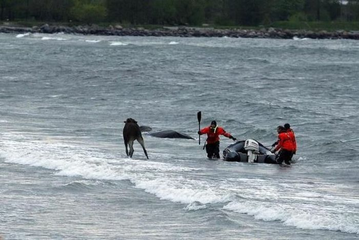 The Rescue Operation of a Moose in the Lake (28 pics)
