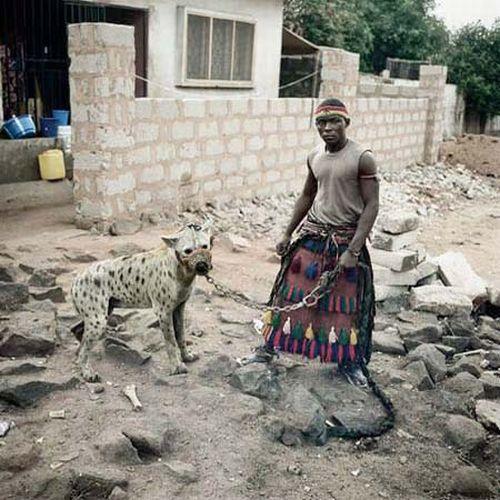 African Pitbull