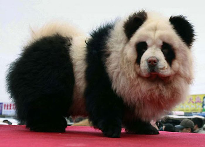 Panda Dogs and Tiger Dogs are Popular in China (10 pics)
