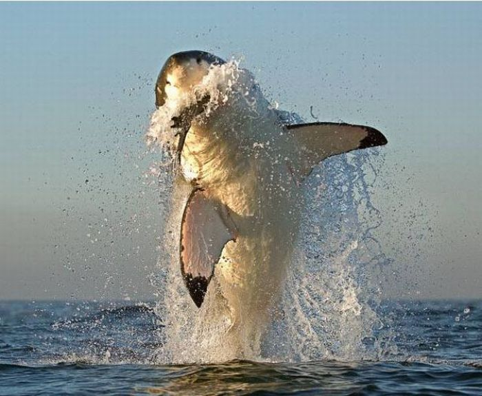 White Sharks Hunting (9 pics)
