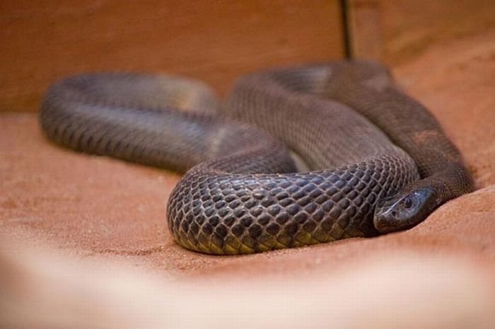World's Deadliest Snakes (32 pics)